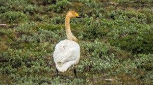 Islande à vélo 2014, cygne en bord de route 1