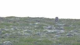 Islande à vélo 2014, renard polaire