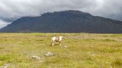 Islande à vélo 2014, un cheval