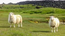 islande à vélo, moutons à Grindavik