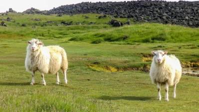 Islande à vélo 2014, moutons à Grindavik