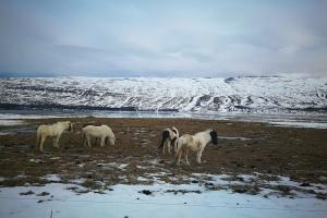 Chevaux à la sortie de Akureyri, au pied du fjord, en Islande à vélo en hiver