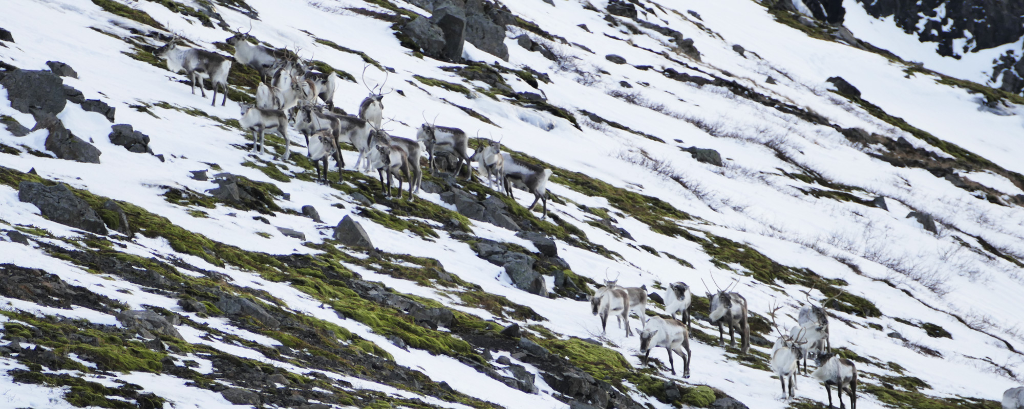 Troupeau de rennes, dans l'Est de l'Islande à vélo